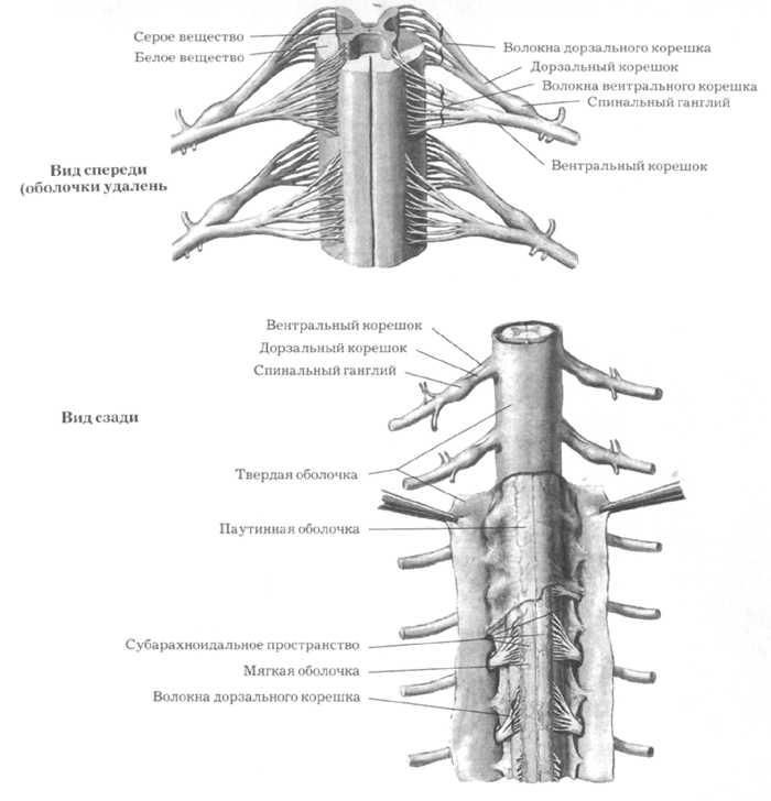 Мозг спинной