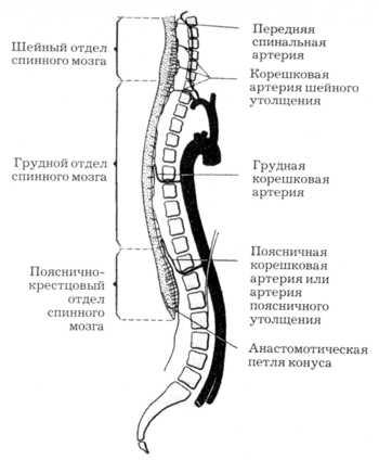 кровоснабжения спинного